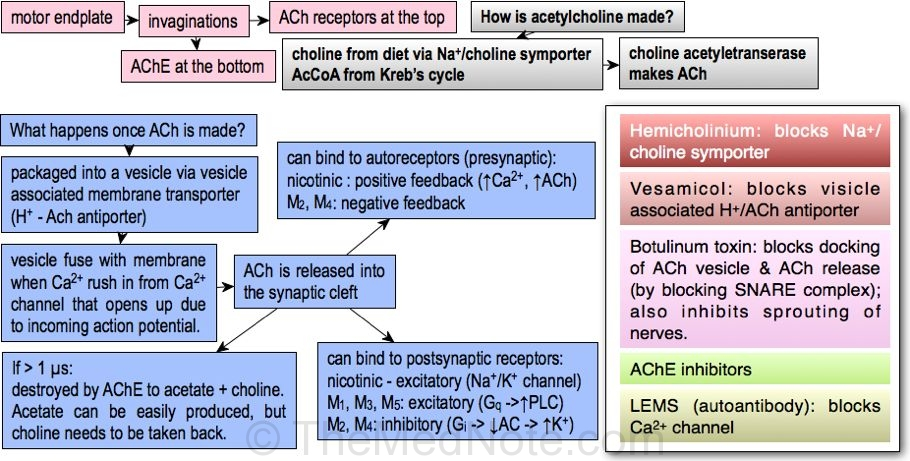 Post image for Acetylcholine